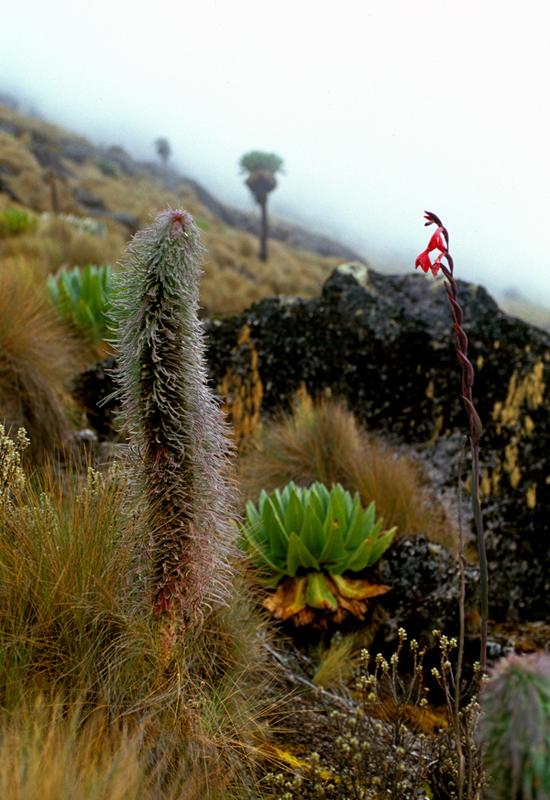 Mount Kenyas alpine flora