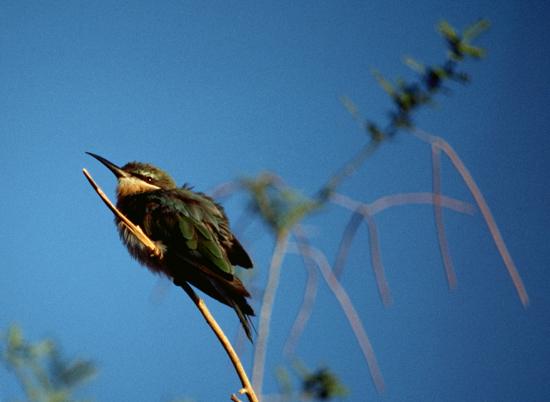 Bee-eater at Lake Baringo in Kenya
