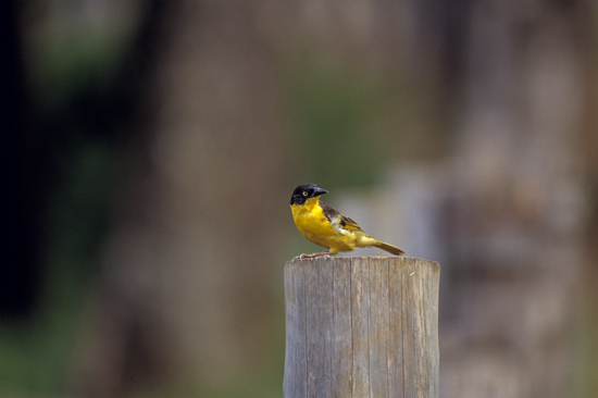 Baglafecht Weaver on a pole