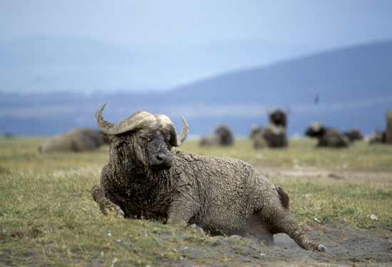 Buffalo at Lake Nakuru taking a dust bath