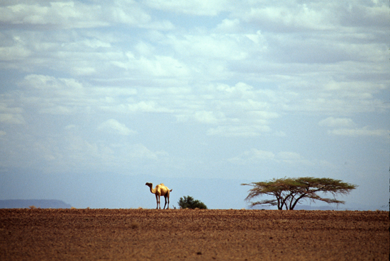 Camel in the desert in Kenyas northern frontier district - photo © Mikkel Grabowski