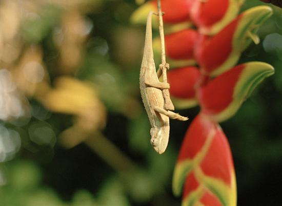 Chameleon Kakamega Kenya
