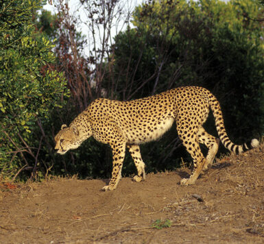 Female mother Cheetah close to the den