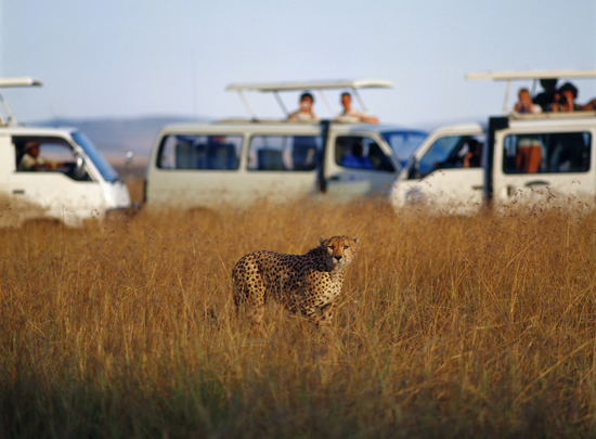 Tourists in minibuses looking at a cheetah