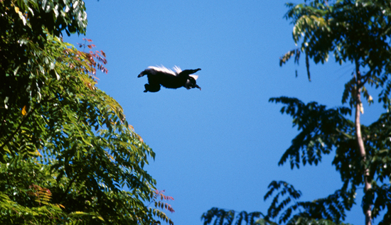 Colobus monkey jumping Kakemega
