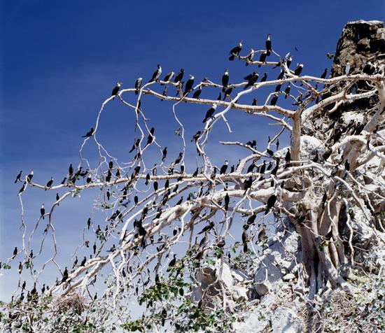 Cormorants at Mbasha Islands in lake Victoria