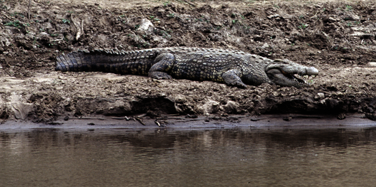 Nile Crocodile, Mara River