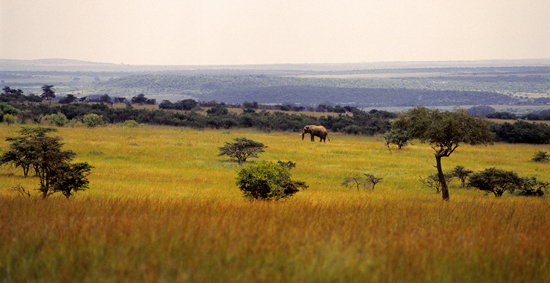 A lone elephant bull in the Masai Mara