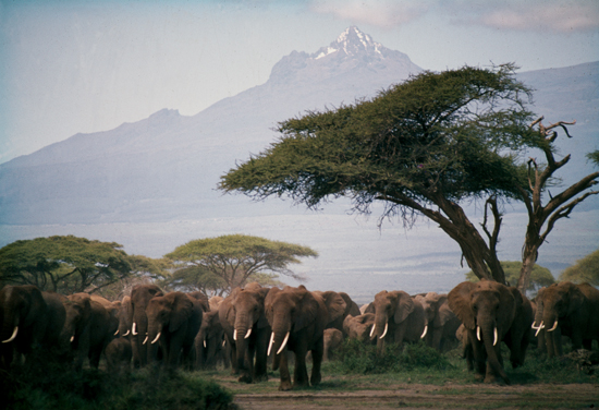 Huge herd of elephants with Kilimanjaro in the background