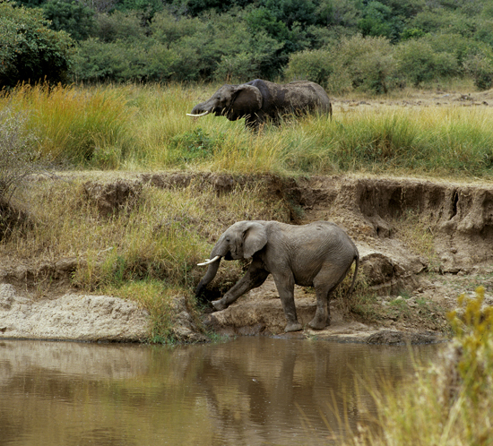 Elephants at Mara River