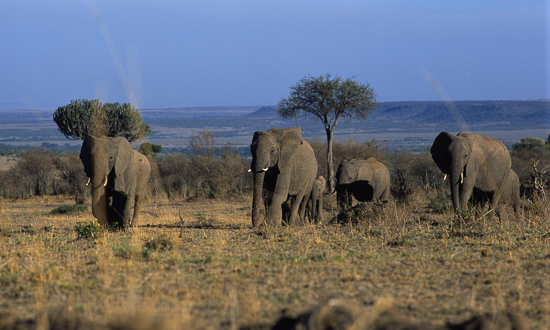 A small herd of elephants on their morning stroll on the African savannah