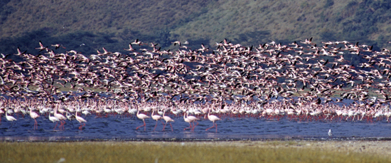 Flocks of flamingos taking off