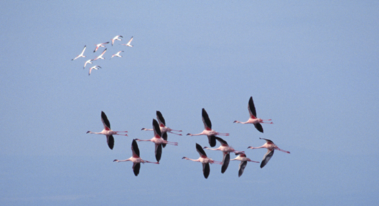 Flamingos flying in formation