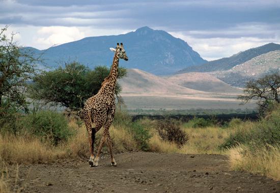 A Masai Giraffe in Tsavo National Park in kenya