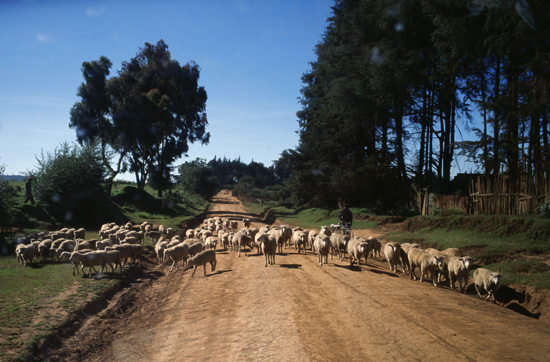 Livestock in the Mau escarpment in kenya