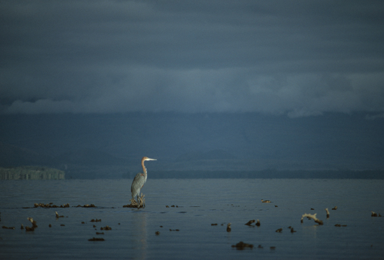 Goliath heron in Lake naivasha