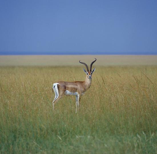 Grants gazelle Masai Mara