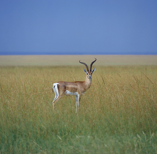 Grants gazelle posing in Masai Mara