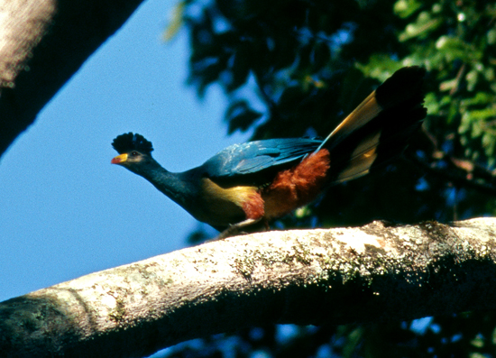 Great Turaco in Kakamega forest