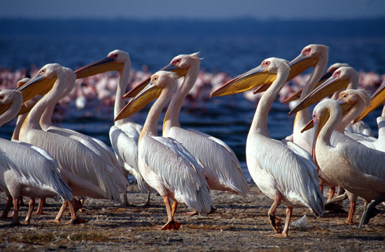 Great white pelicans at Lake Nakuru