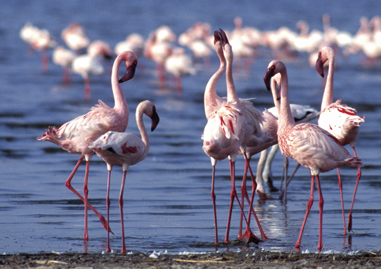 Greater flamingos displaying