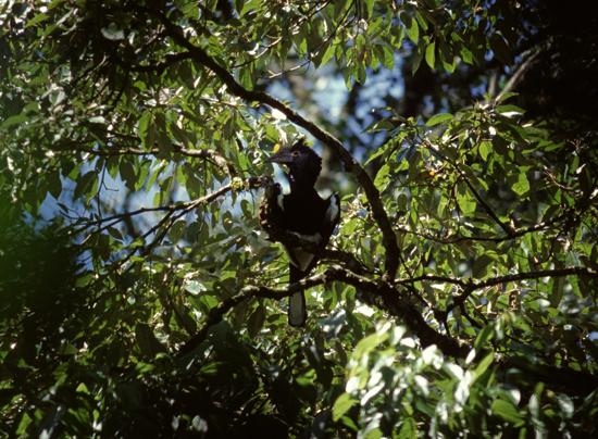 Hornbill in Kakamega