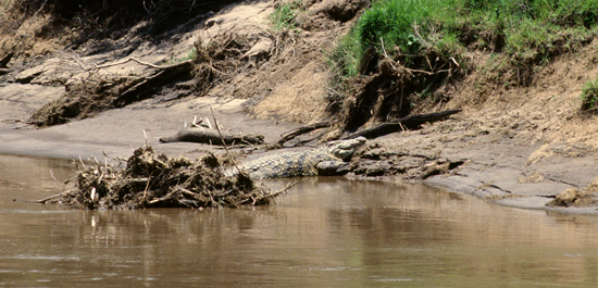 The big migrations across Mara River ensures plenty of food for the crocodiles at least once a year