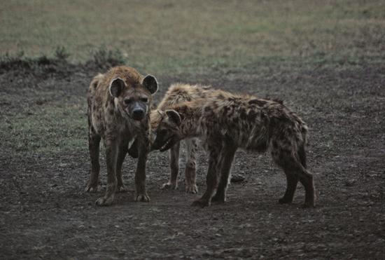 Spotted Hyenas in Masai Mara