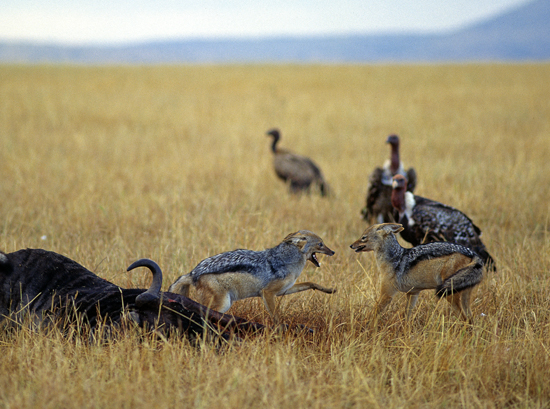 Jackals fighting over carcass of a gnu