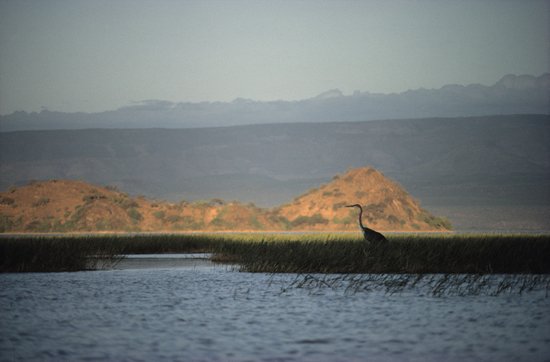 Goliath heron in Lake Baringo in Kenya