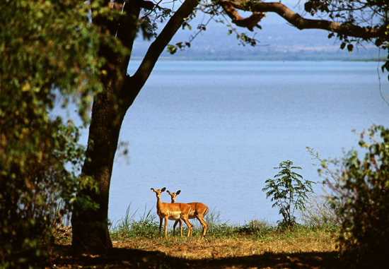 Impalas by Lake Victoria