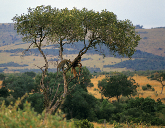 Leopard in a tree eating an impala