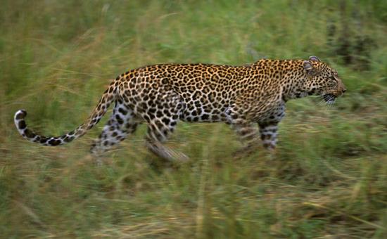 Leopard at Lake Nakuru