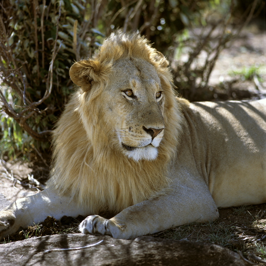 Male lion resting in the shadow of a tree