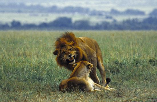 Lions courting, Masai Mara