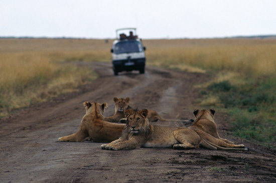 Lions resting on the road Masai Mara - photo © Mikkel Grabowski