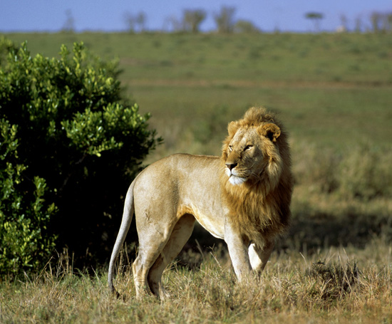 Male lion in Masai Mara in kenya