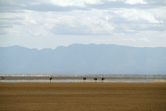 Somali Ostriches in Chalbi Desert