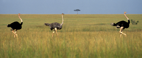 Three Ostriches in Masai Mara