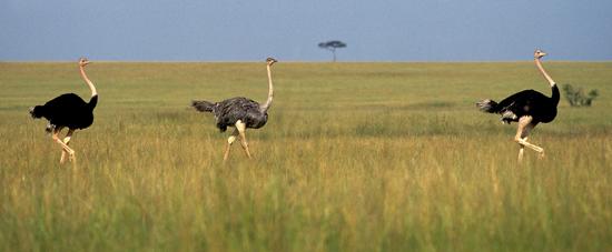 Three Ostriches in Masai Mara