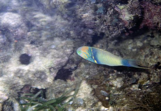 Parrot fish Indian Ocean