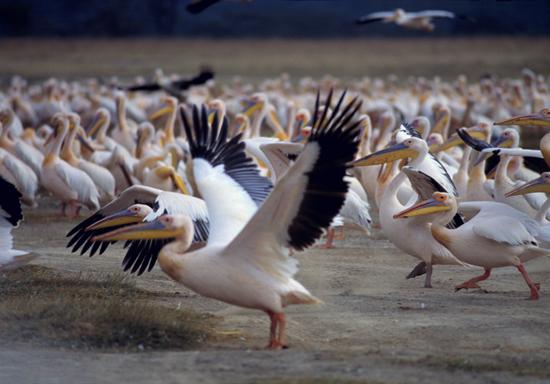 Great White Pelicans Lake Nakuru