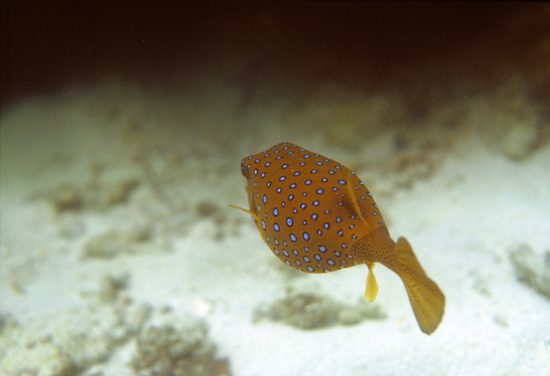 Pufferfish, Indian Ocean