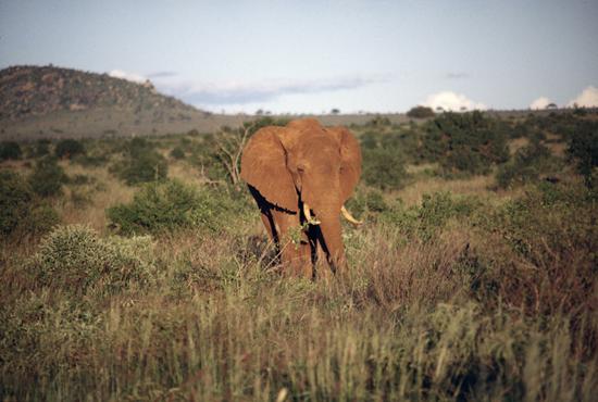 Red elephant Tsavo National Park