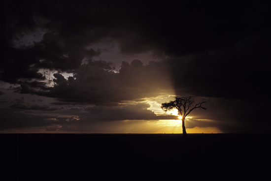 Acacia tree in the sunset in Masai Mara