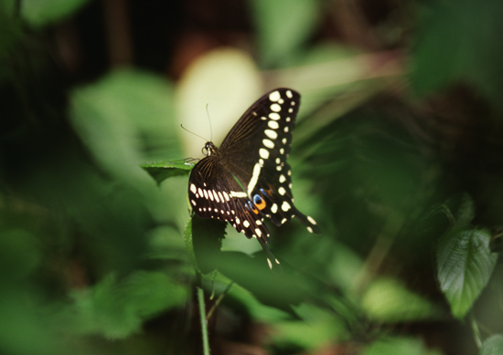 Swallow tail butterfly in Kakamega forest