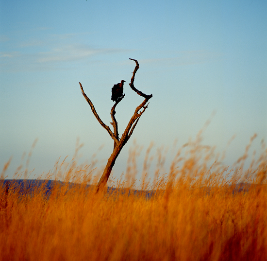 Vulture in a tree and tall grasses