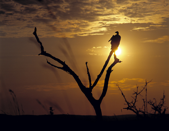 Vulture in a dead tree