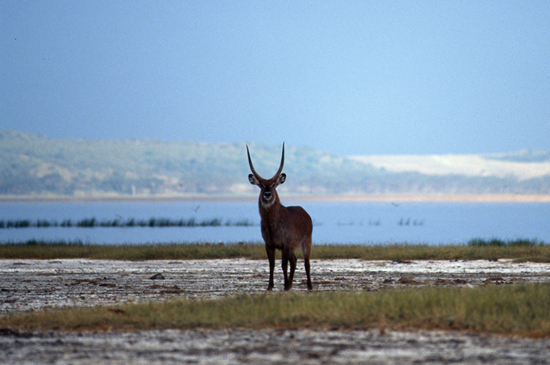 Waterbuck at Lake Nakuru