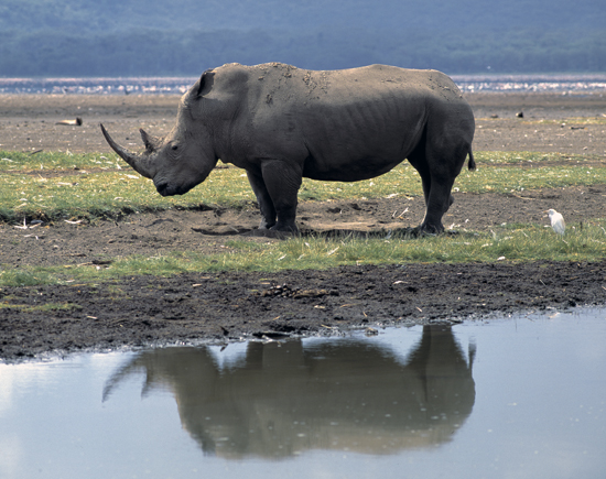 Rhino in Lake Nakuru National Park